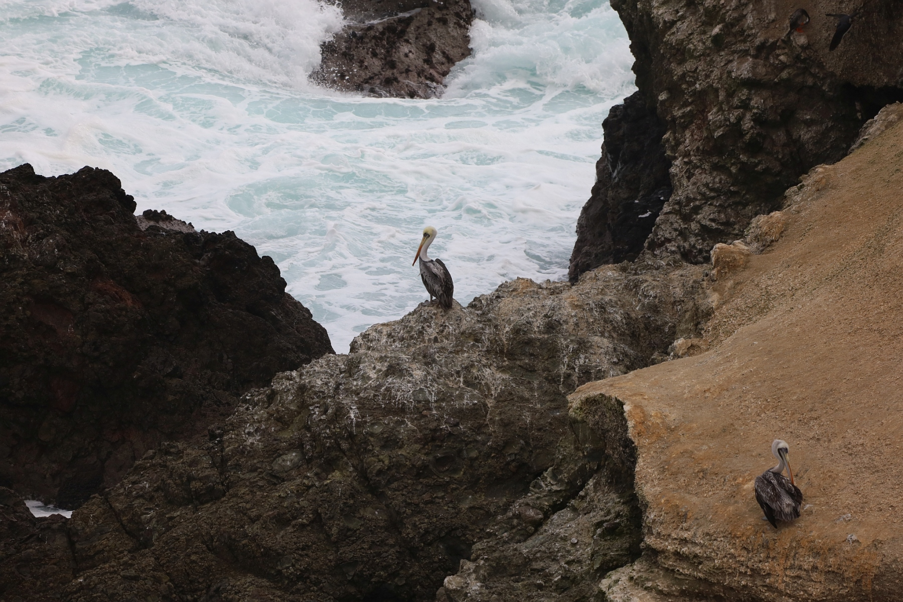 Pelikane_Antofagasta_2019_07_10_IMG_1907