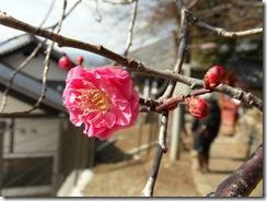 110210 - Nara Pflaumenblüte_SAM_3507