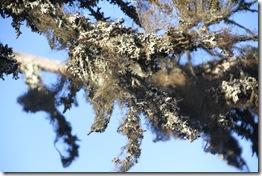 111008 - Arktische Flora - Flechten am Baum IMG_6791