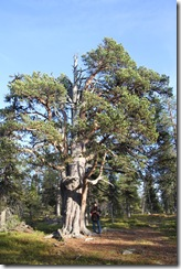 111008 - Porjusberget - Porjus aeltester Baum IMG_6774