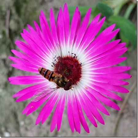Ficoide tapete magico, livingstone daisy, Mesembryanthemum criniflorum 2015-06-28 13.22.18