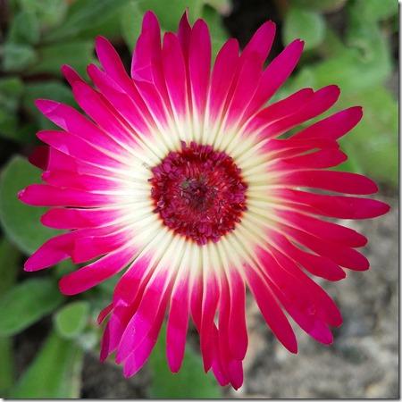 Ficoide tapete magico, livingstone daisy, Mesembryanthemum criniflorum, 2015-06-28 13.23.01
